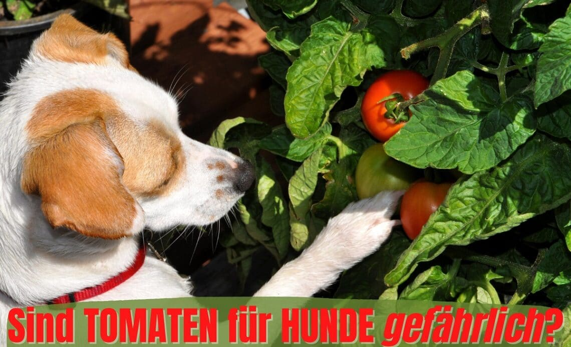Hund schnüffelt an Tomate