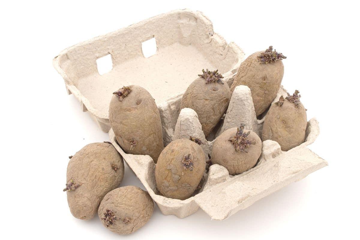 Kartoffeln im Eierkarton vorkeimen