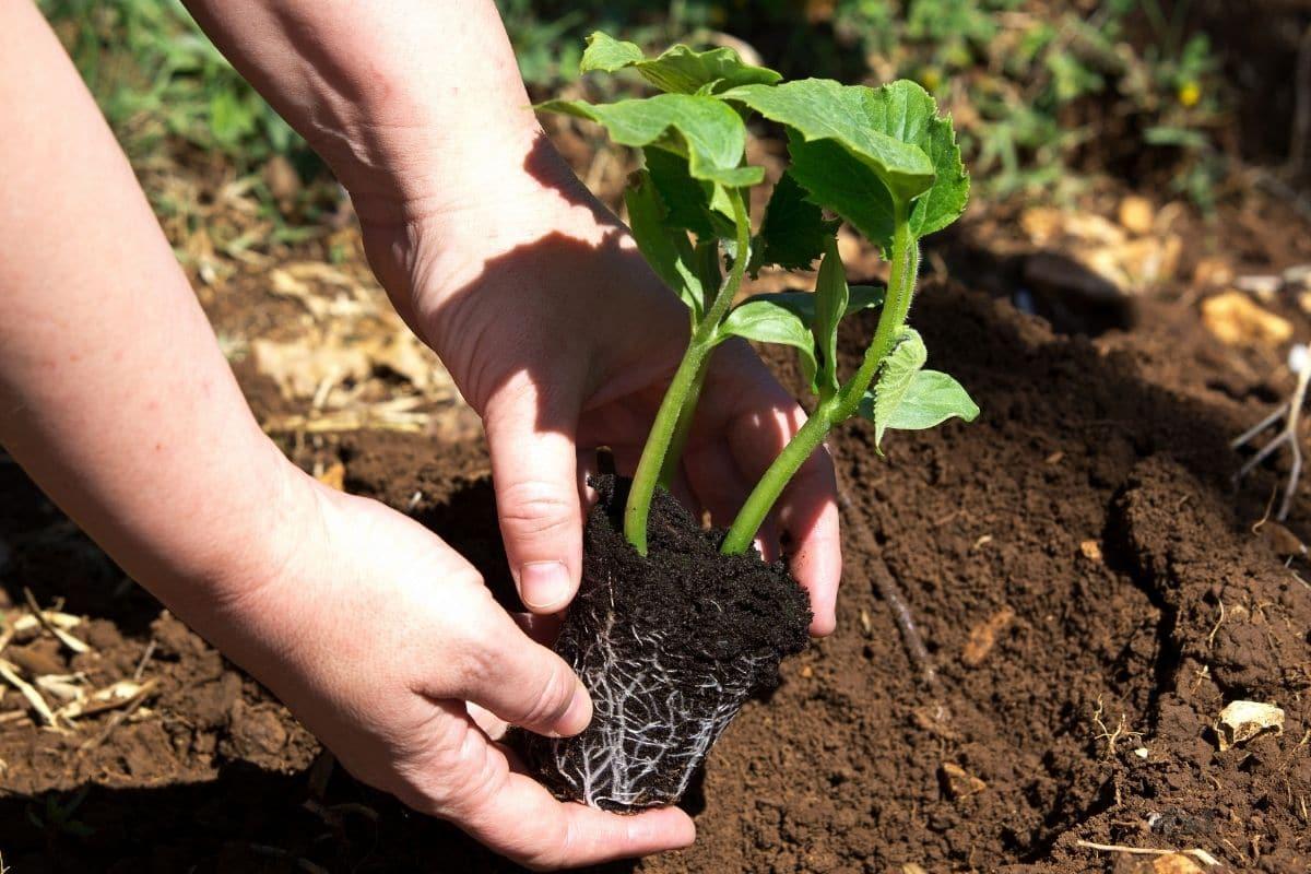 Kürbis auspflanzen