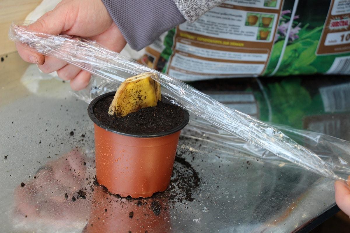 Mangokern im feuchten Anzuchttopf mit Folie abdecken