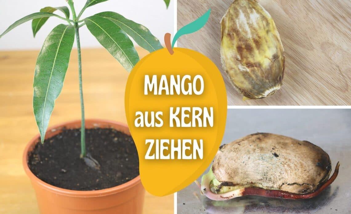 Mangokern keimen lassen