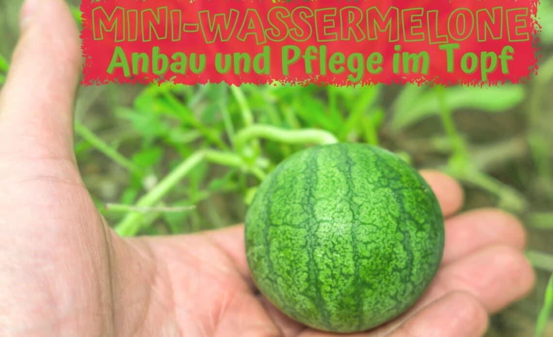 Mini-Wassermelone im Topf