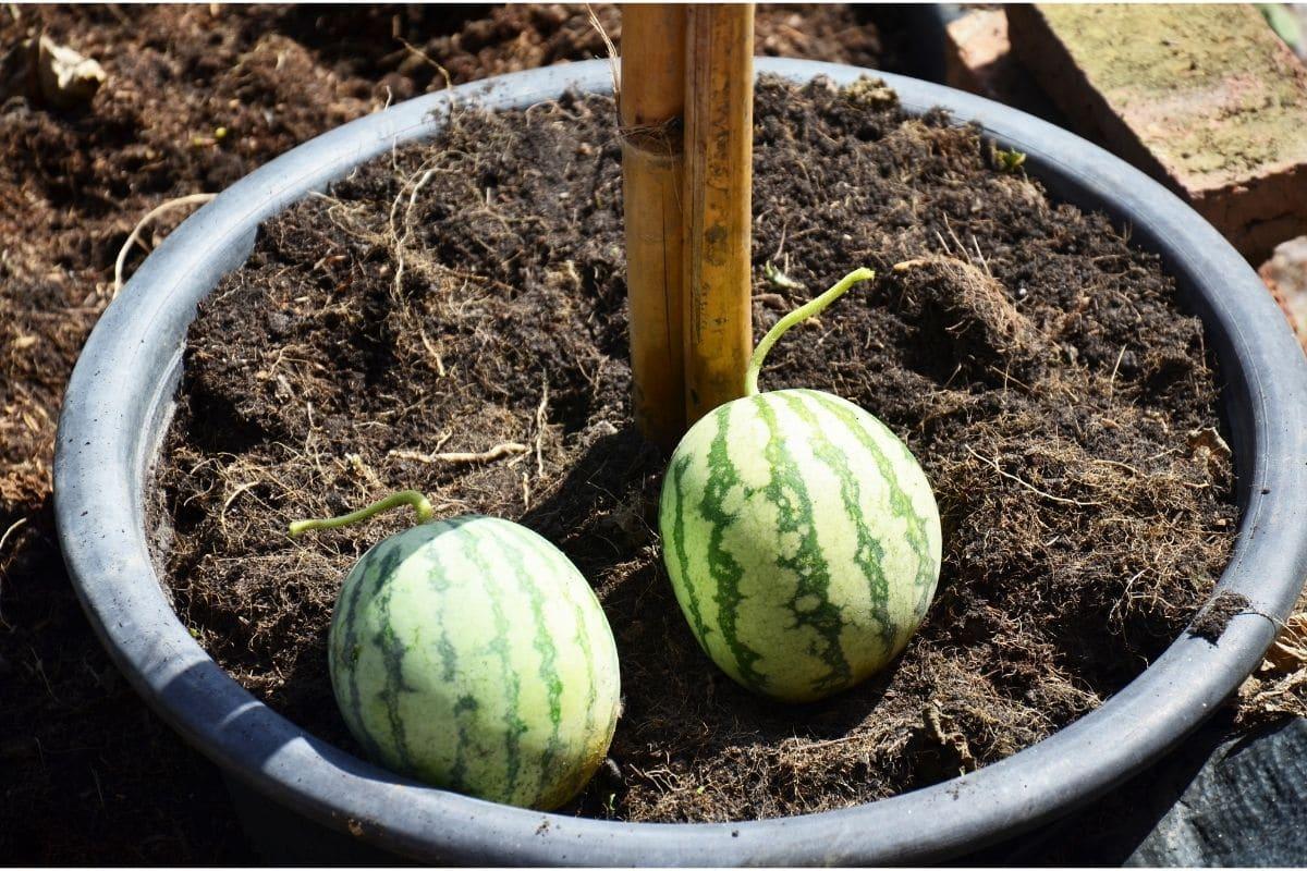Reife Mini-Wassermelonen im Topf