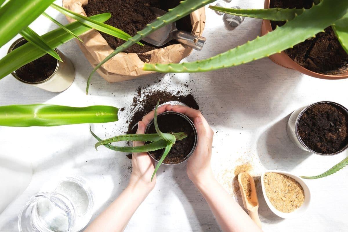 Aloe Vera Erde selber mischen