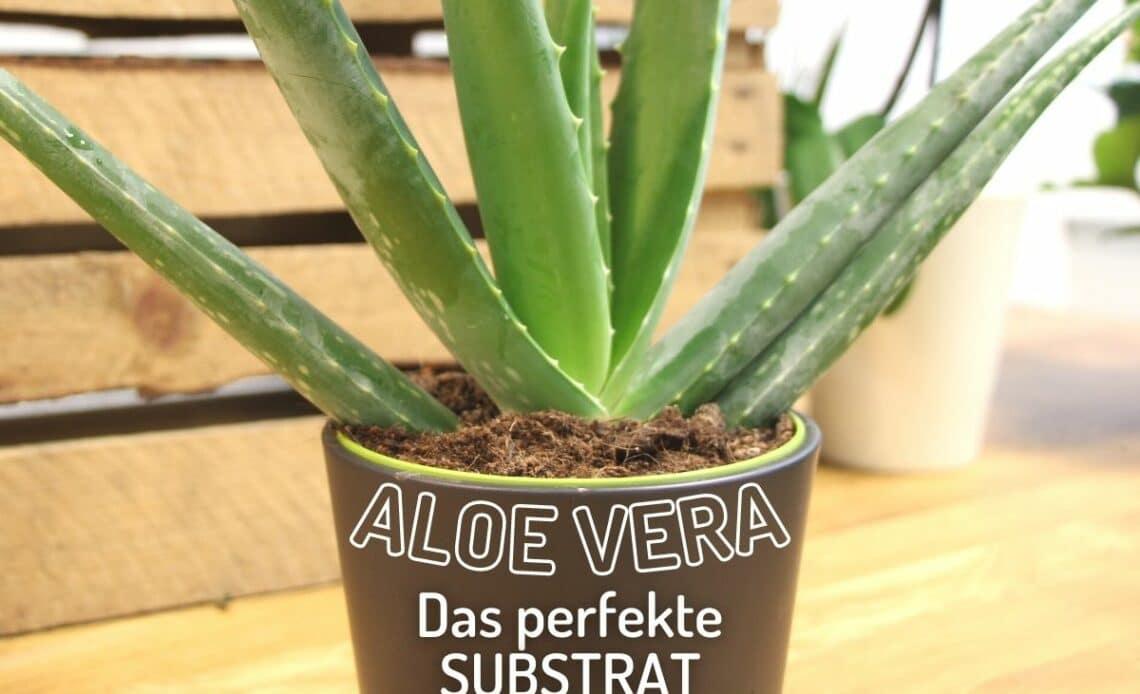 Aloe Vera im Topf mit Erde