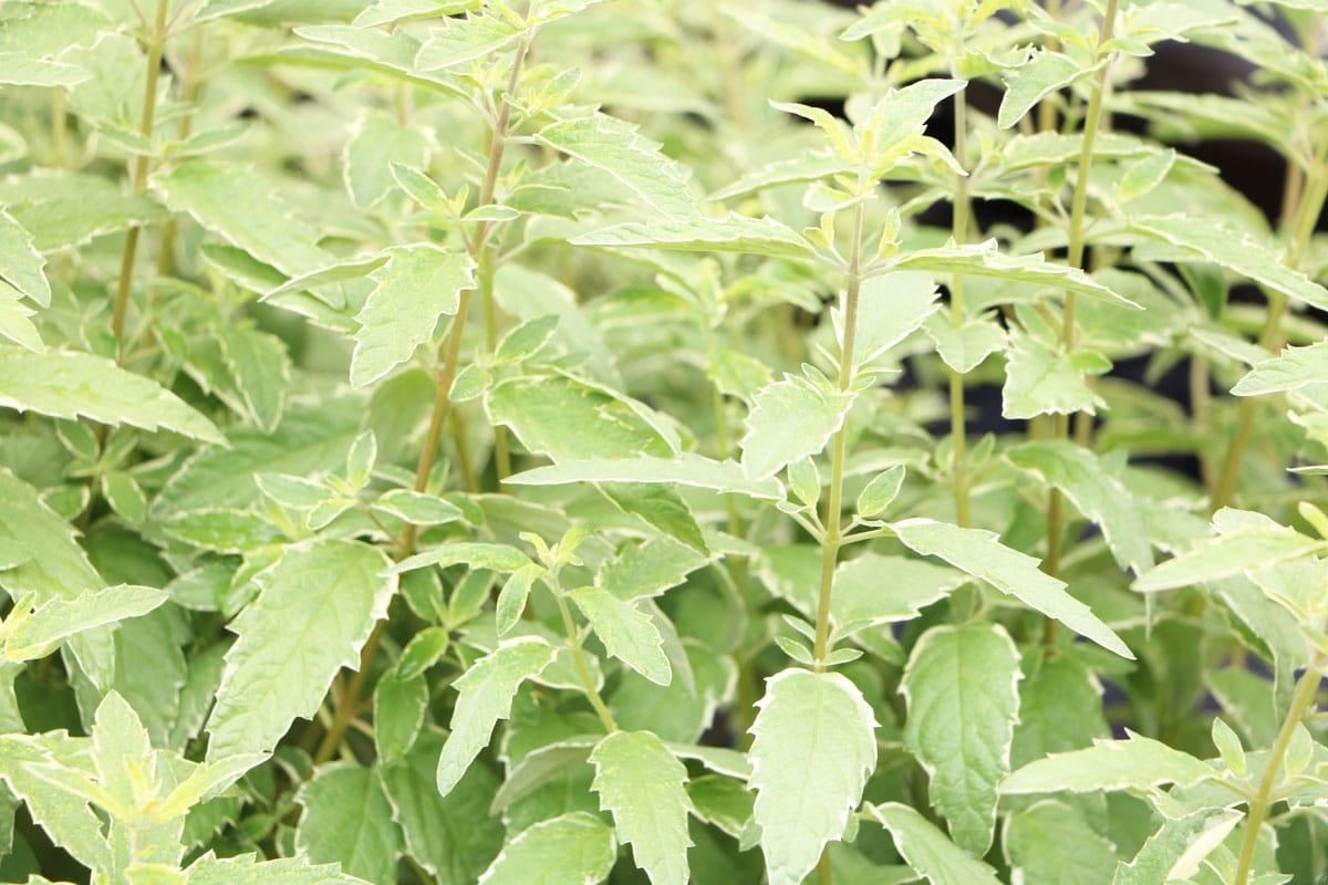 Pflanzen für trockenen und sandigen Boden - Bartblume