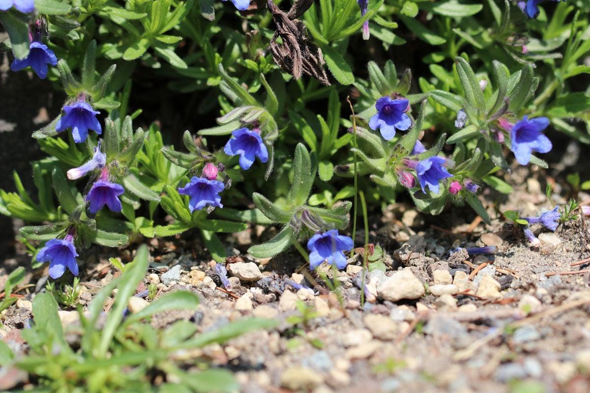 Blaurote Steinsame (Lithodora diffusa)