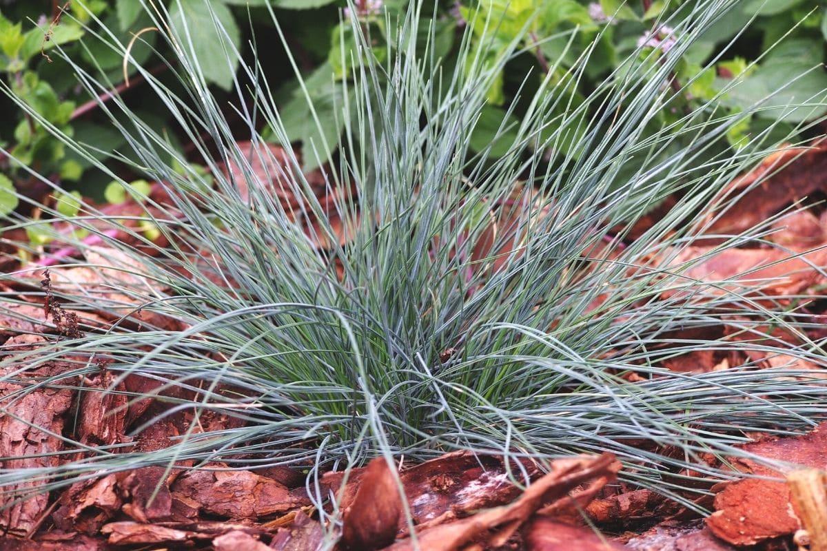 Pflanzen für trockenen und sandigen Boden - Blauschwingel