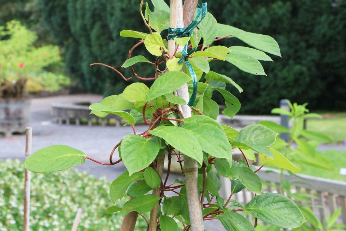 Chinesisches Spaltkörbchen (Schisandra chinensis)
