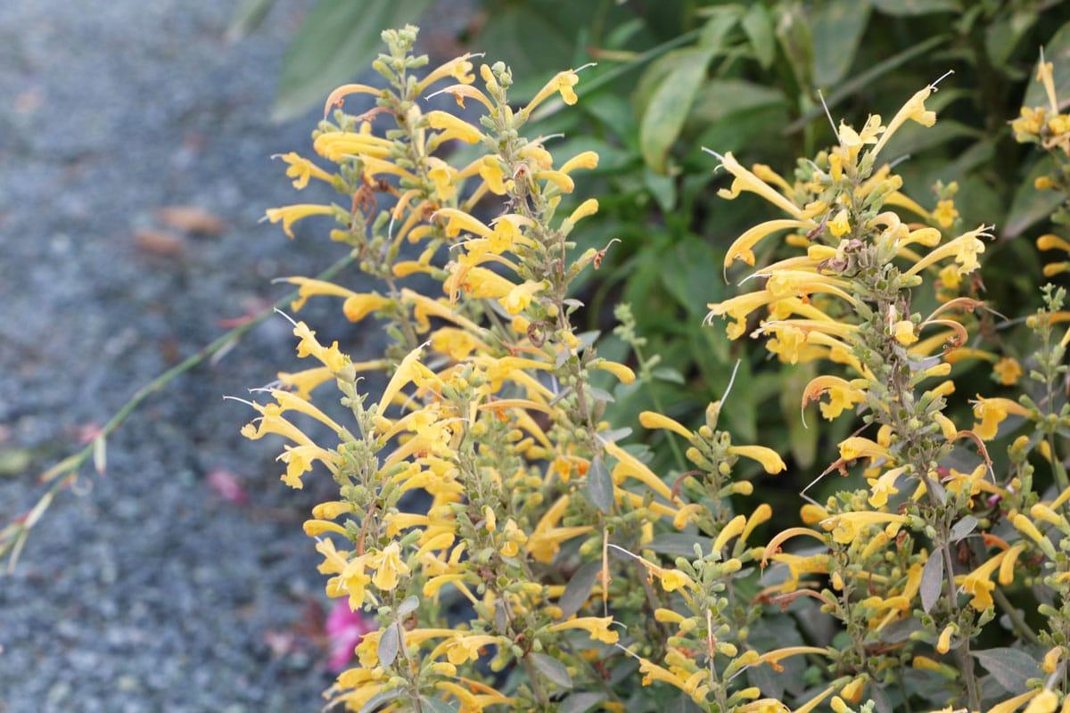 Pflanzen für trockenen und sandige Böden - Duftnessel