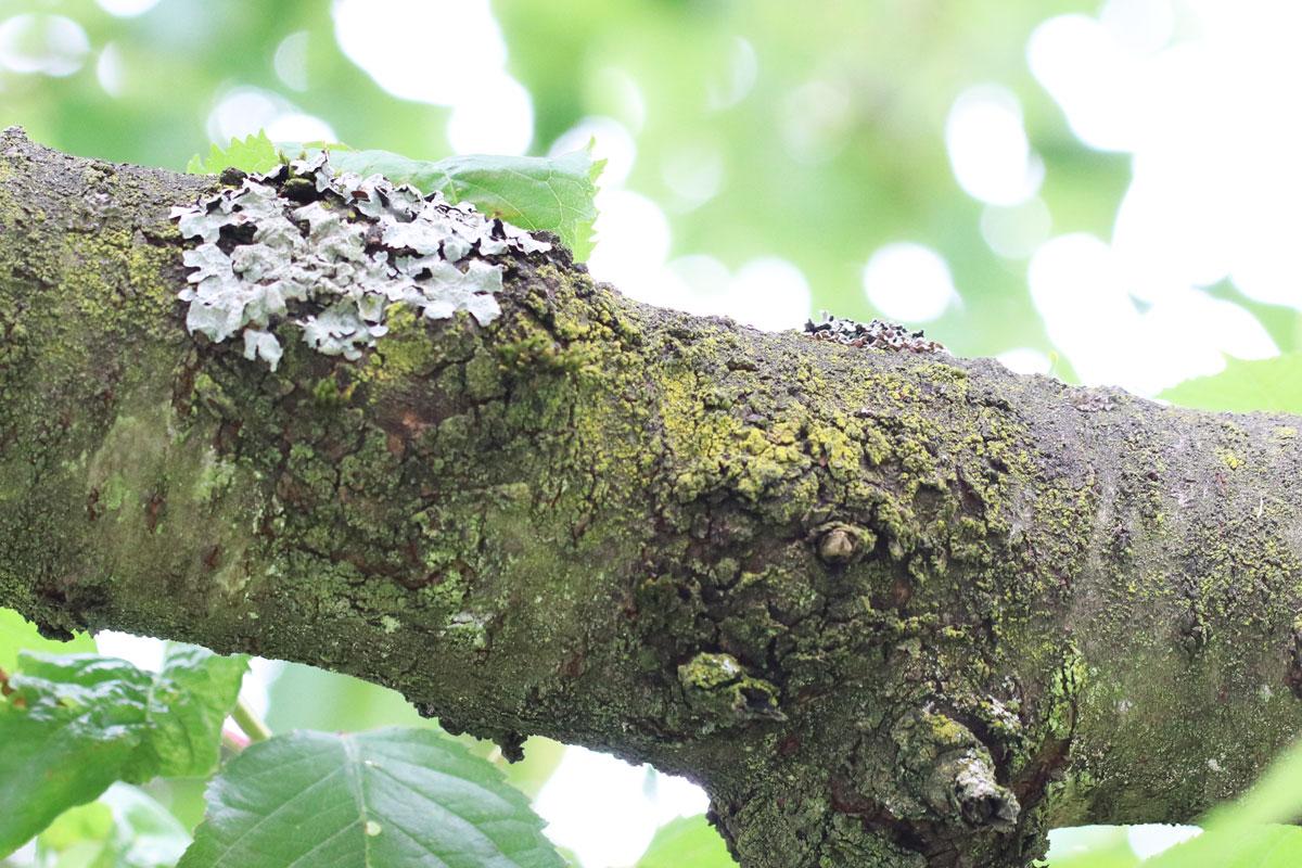 Flechten an Kirschbaum