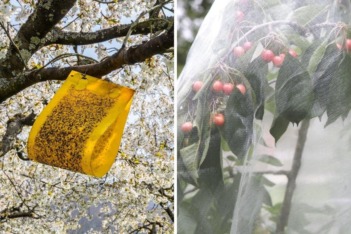 Würmern in Kirschen vorbeugen - Gelbfallen und Schutznetz