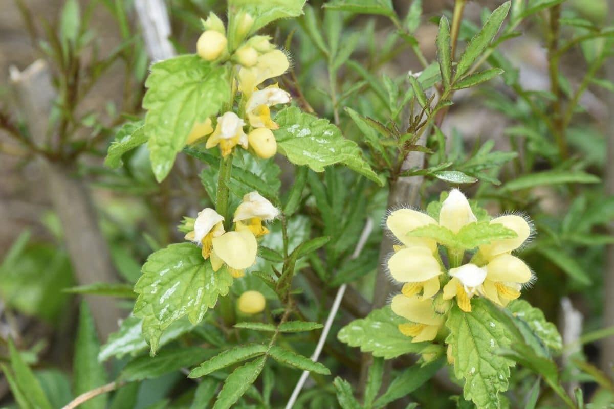 Goldnessel (Lamiastrum galeobdolon)
