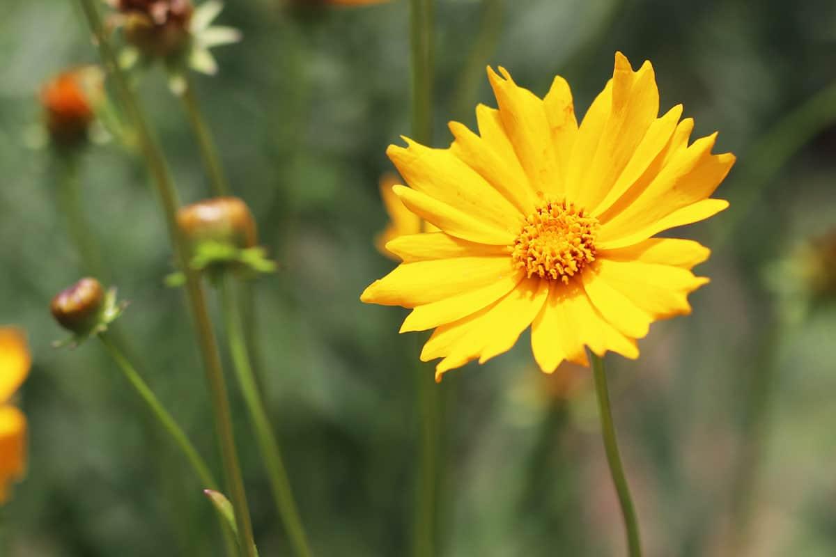 Pflanzen für sandigen oder trockenen Boden - Mädchenauge