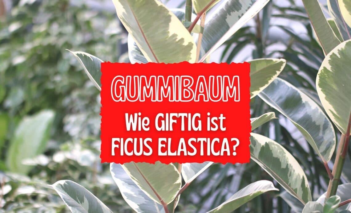 Ist der Gummibaum giftig