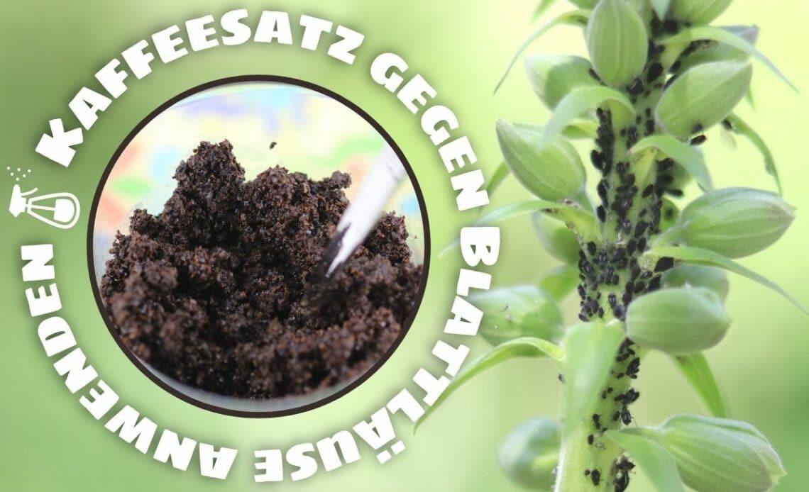 Kaffeesatz gegen Blattläuse