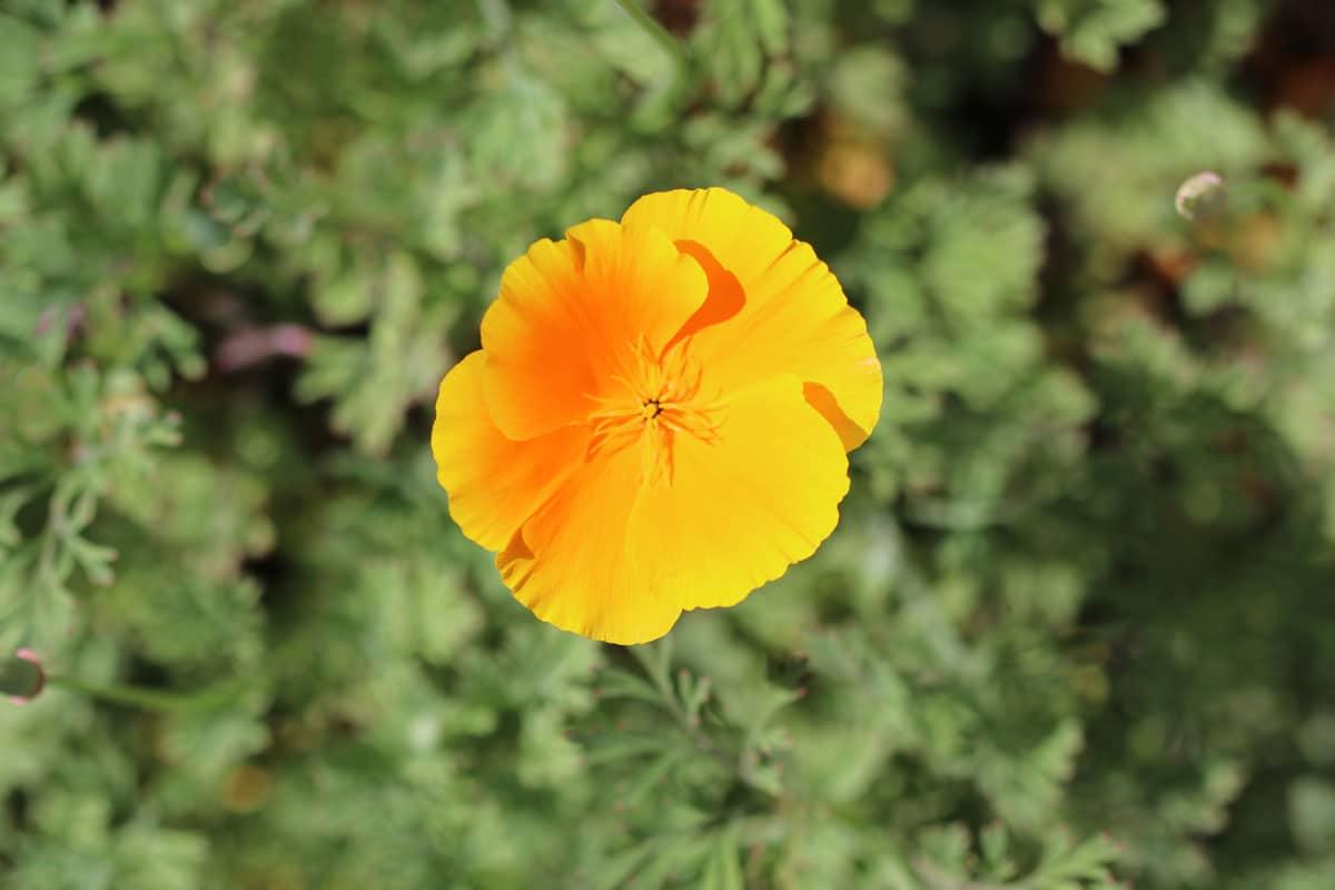 Kalifornischer Mohn (Eschscholzia californica)