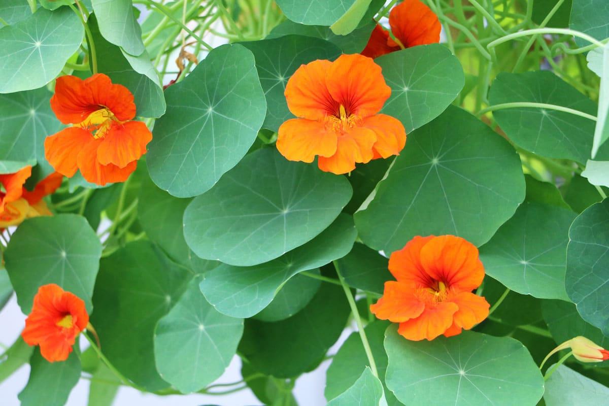 Schatten-Kletterpflanzen - Kapuzinerkresse (Tropaeolum)