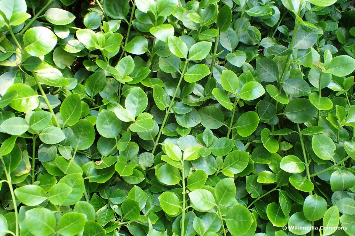 Kletter-Spindelstrauch (Euonymus fortunei 'Vegetus')