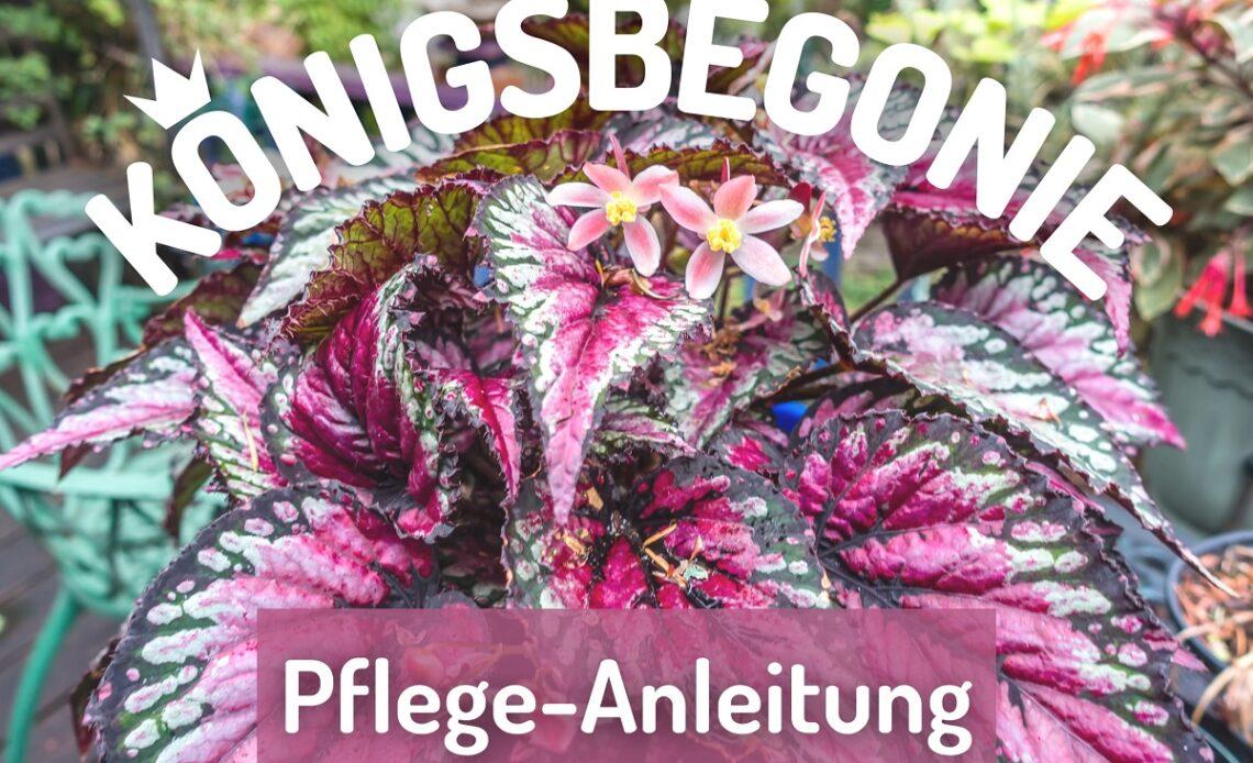 Königsbegonie (Begonia rex)