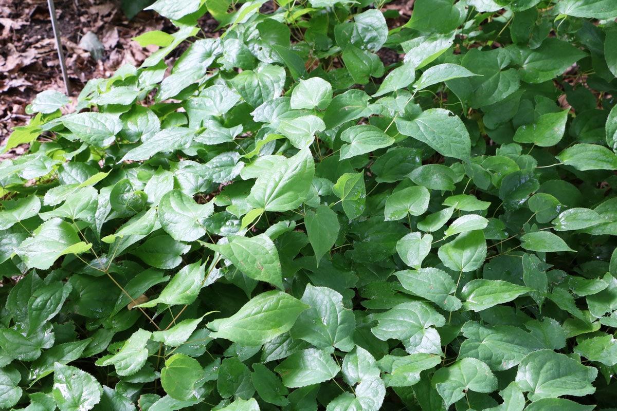 Pflanzen für sandigen und trockenen Boden - Elfenblume