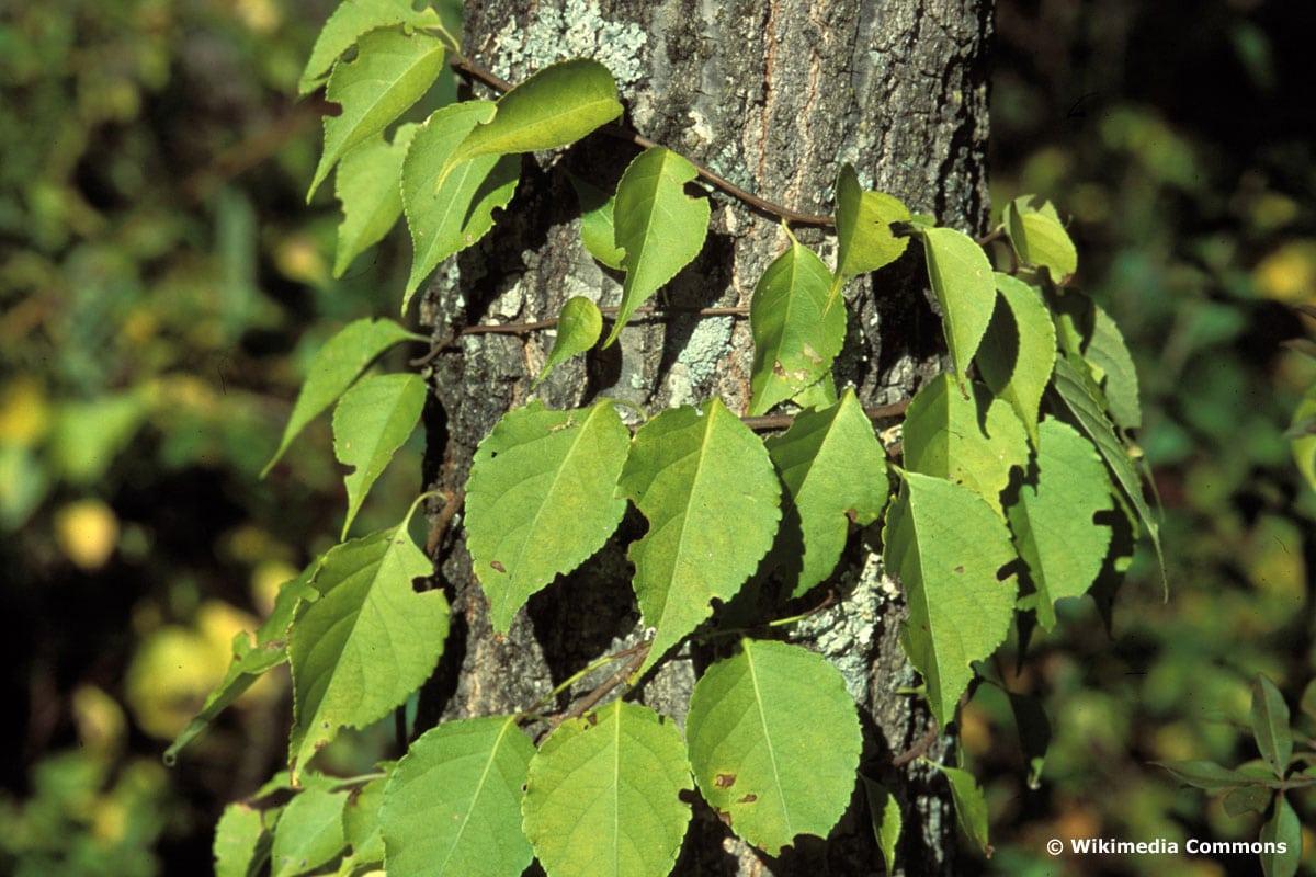 Rundblättriger Baumwürger (Celastrus orbiculatus)