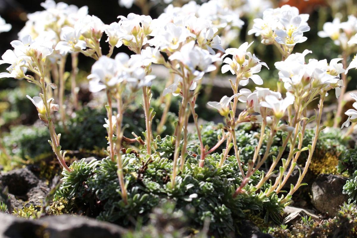 Pflanzen für sandigen und trockenen Boden - Steinbrech