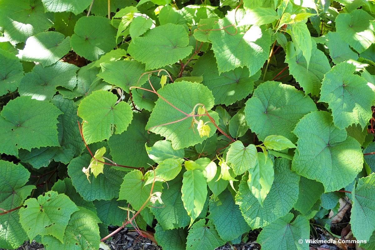 Schatten-Kletterpflanzen - Scharlachwein (Vitis coignetiae)