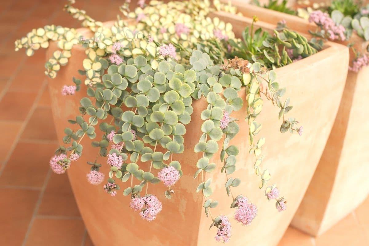 Pflanzen für trockenen und sandigen Boden - Siebold-Fetthenne