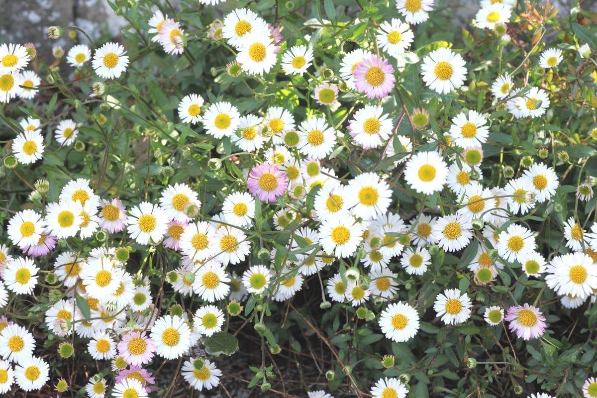 Spanisches Gänseblümchen (Egigeron karvinskianus)