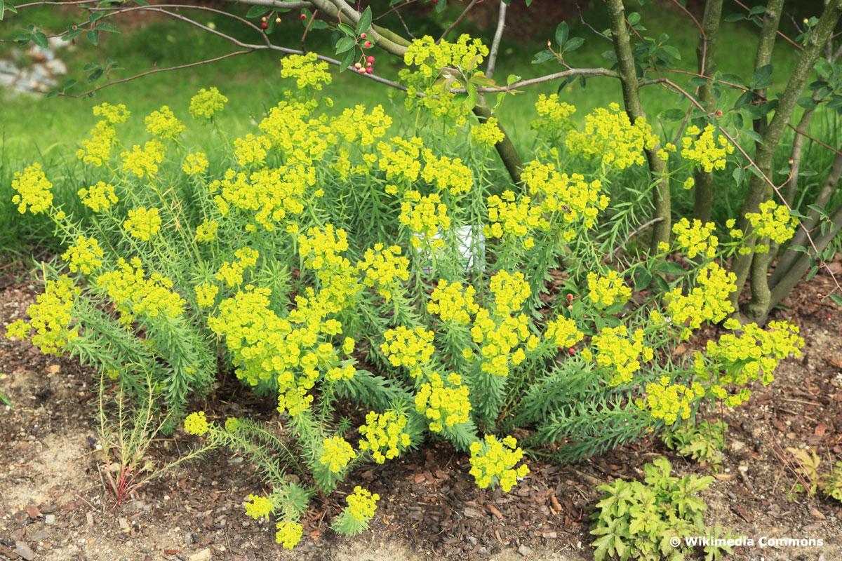 Steppen-Wolfsmilch (Euphorbia seguieriana)