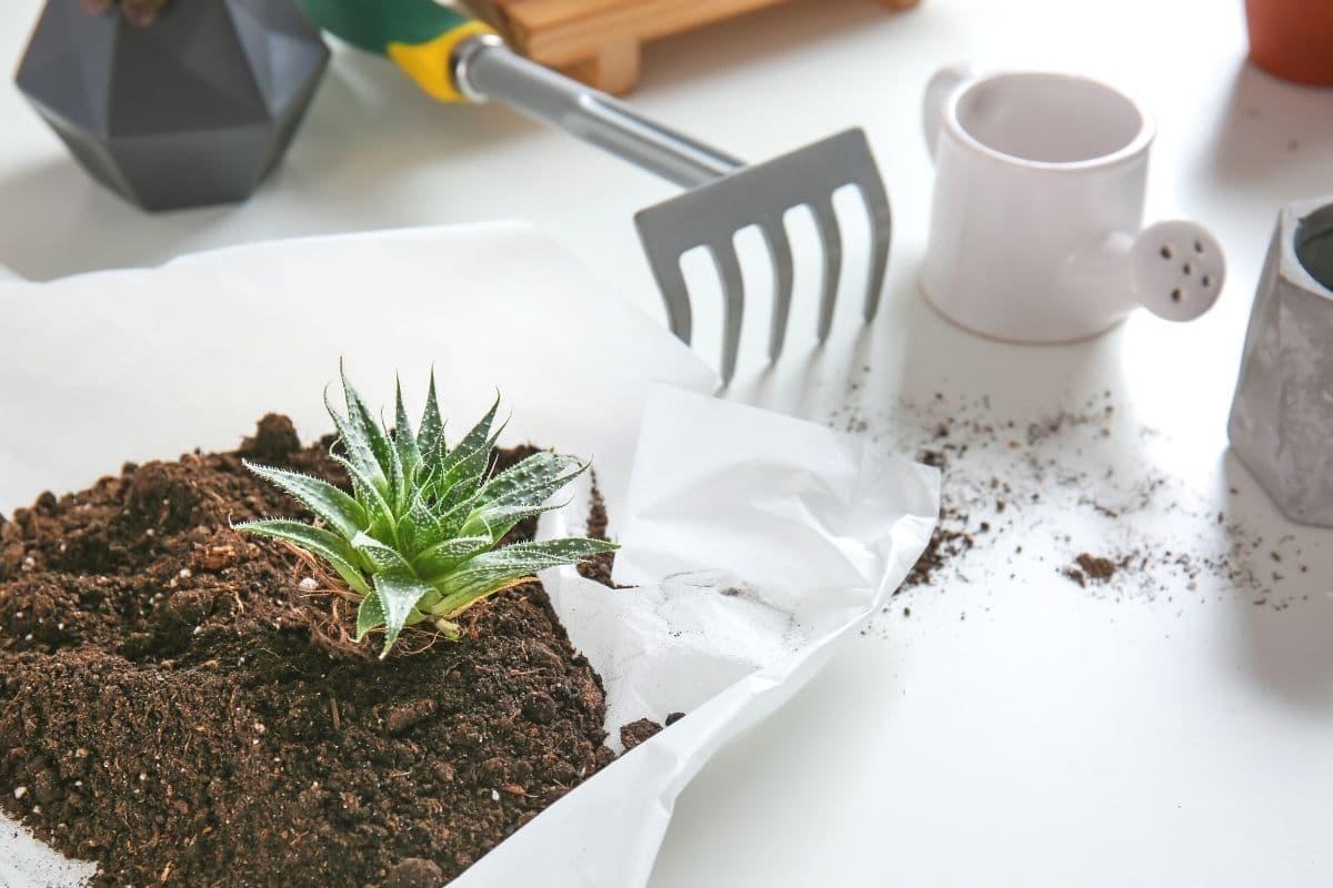 Sukkulentenerde für Aloe