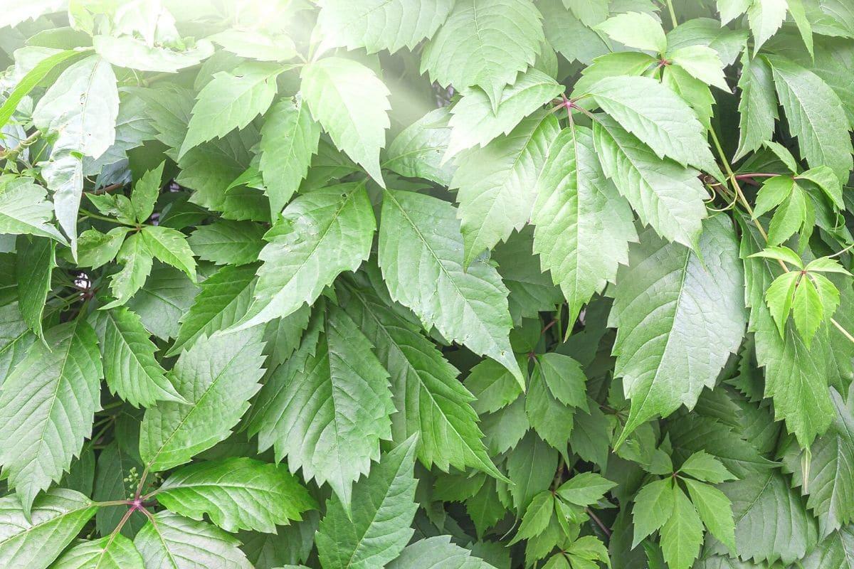 Unsterblichkeitskraut (Gynostemma pentaphyllum)