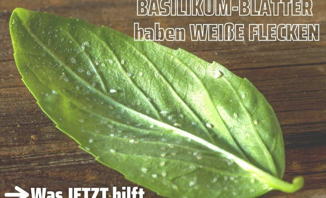 Weiße Flecken an Basilikum-Blättern