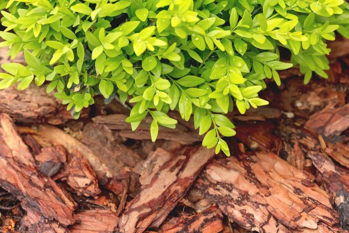 Buchsbaum mit Rindenmulch
