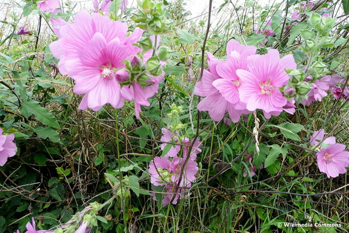 Buschmalve 'Rosea' (Lavatera olbia)