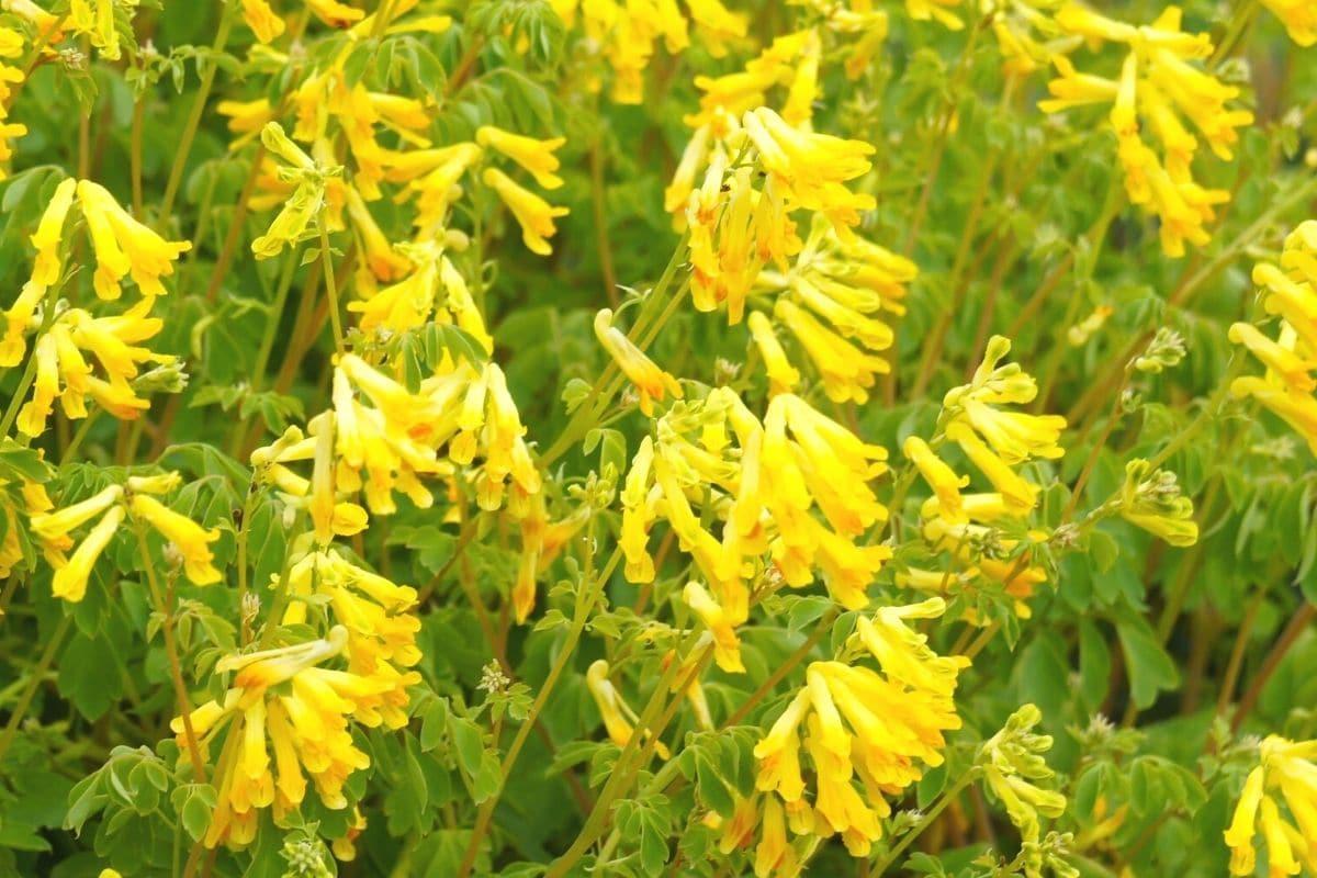 Gelber Lerchensporn (Corydalis lutea)