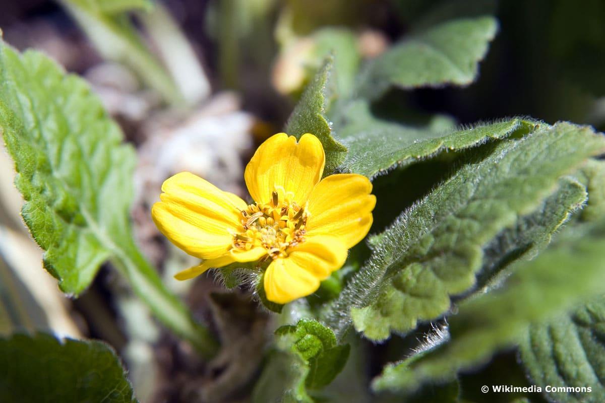 Goldkörbchen (Chrysogonum virginianum)