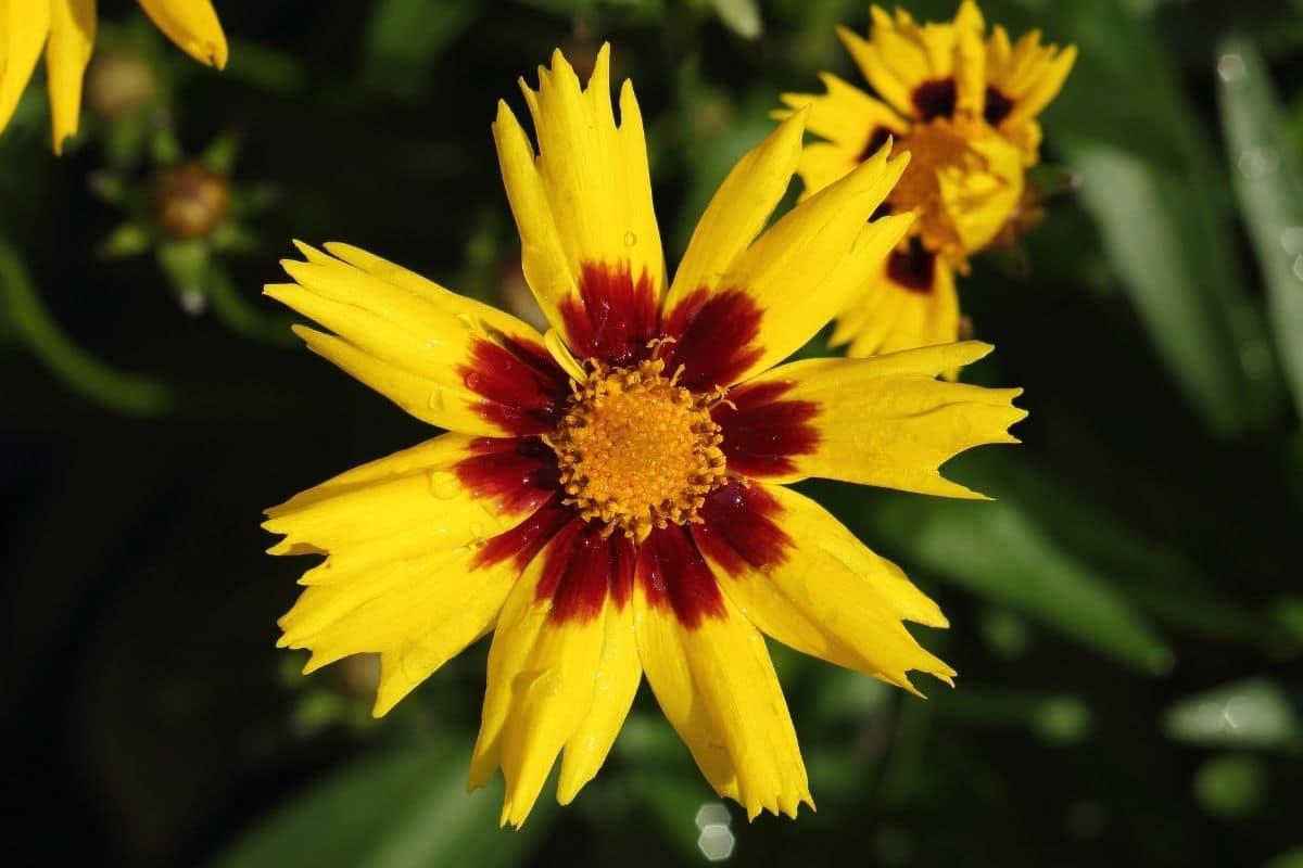 Großblumiges Mädchenauge 'SunKiss' (Coreopsis grandiflora)