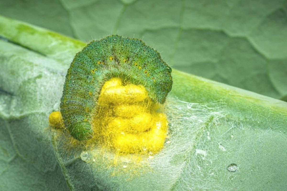 Kleiner Kohlweißling mit Puppen der Schlupfwespe Cotesia glomerata