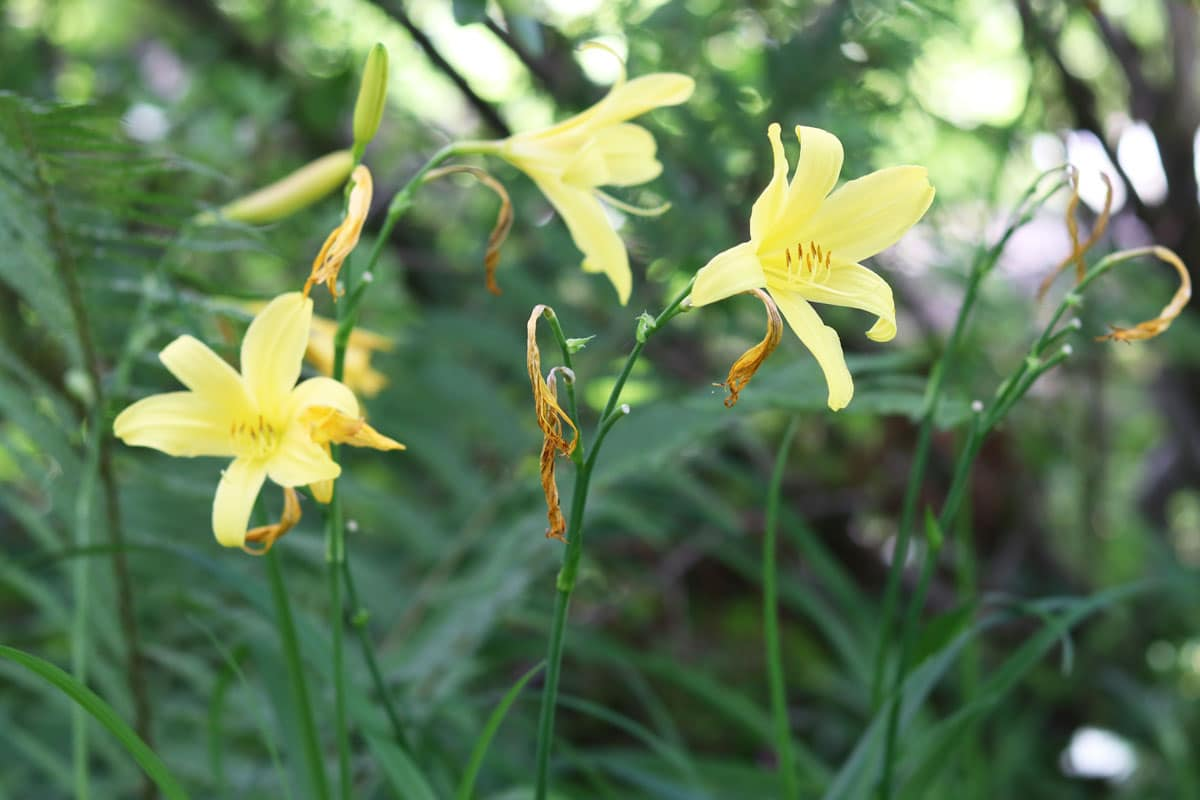 Middendorffs Taglilie (Hemerocallis middendorffii)