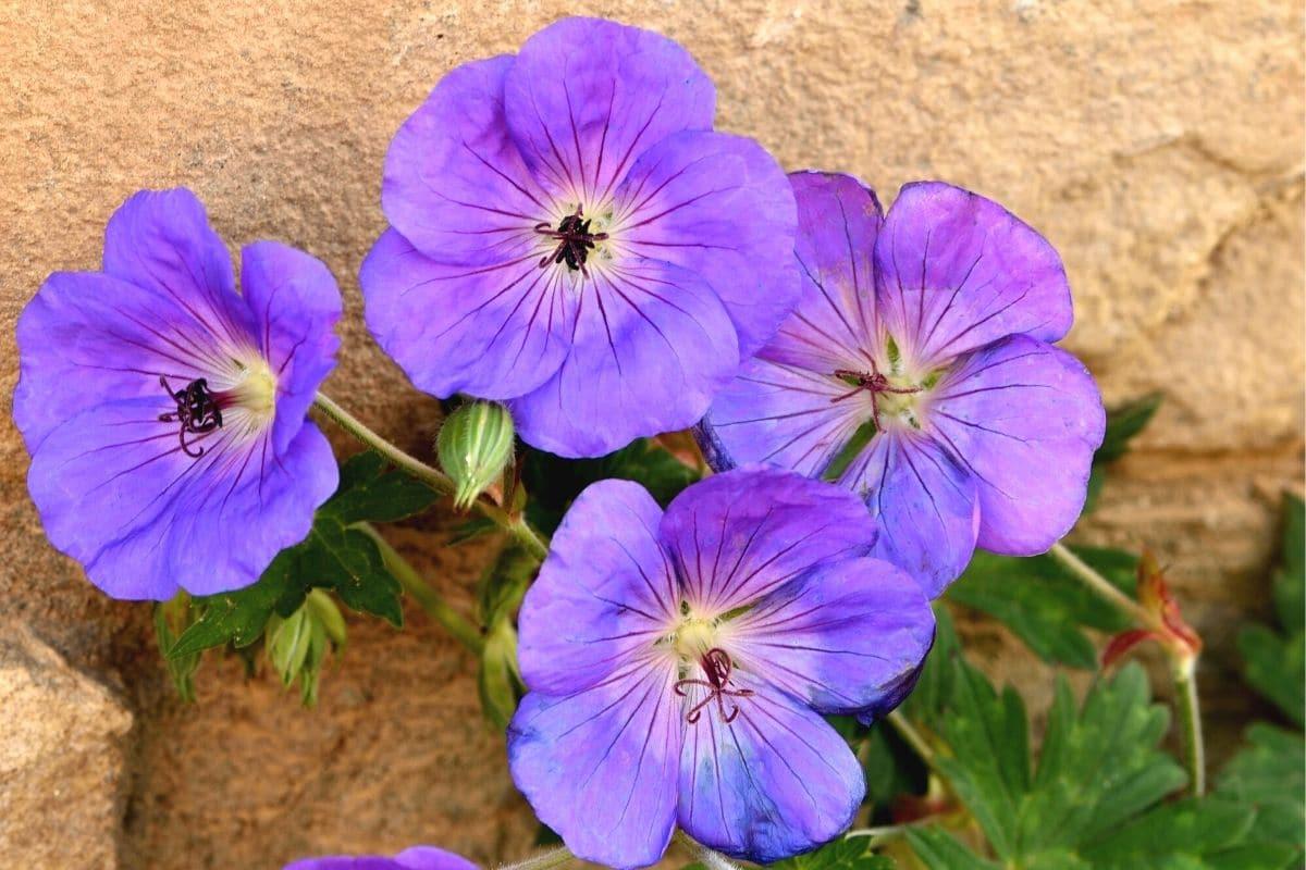 """Strochschnabel """"Rozanne"""" (Geranium wallichianum)"""