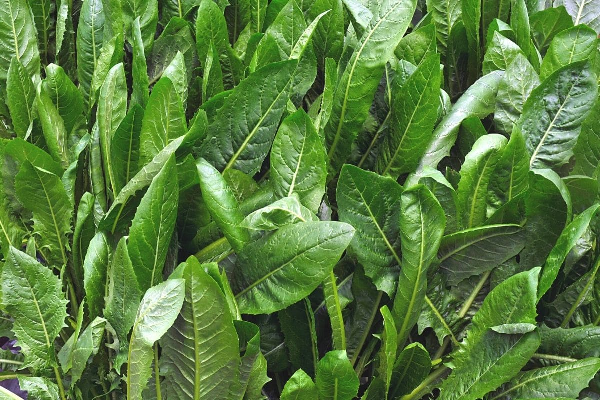 Chicoree (Cichorium intybus)