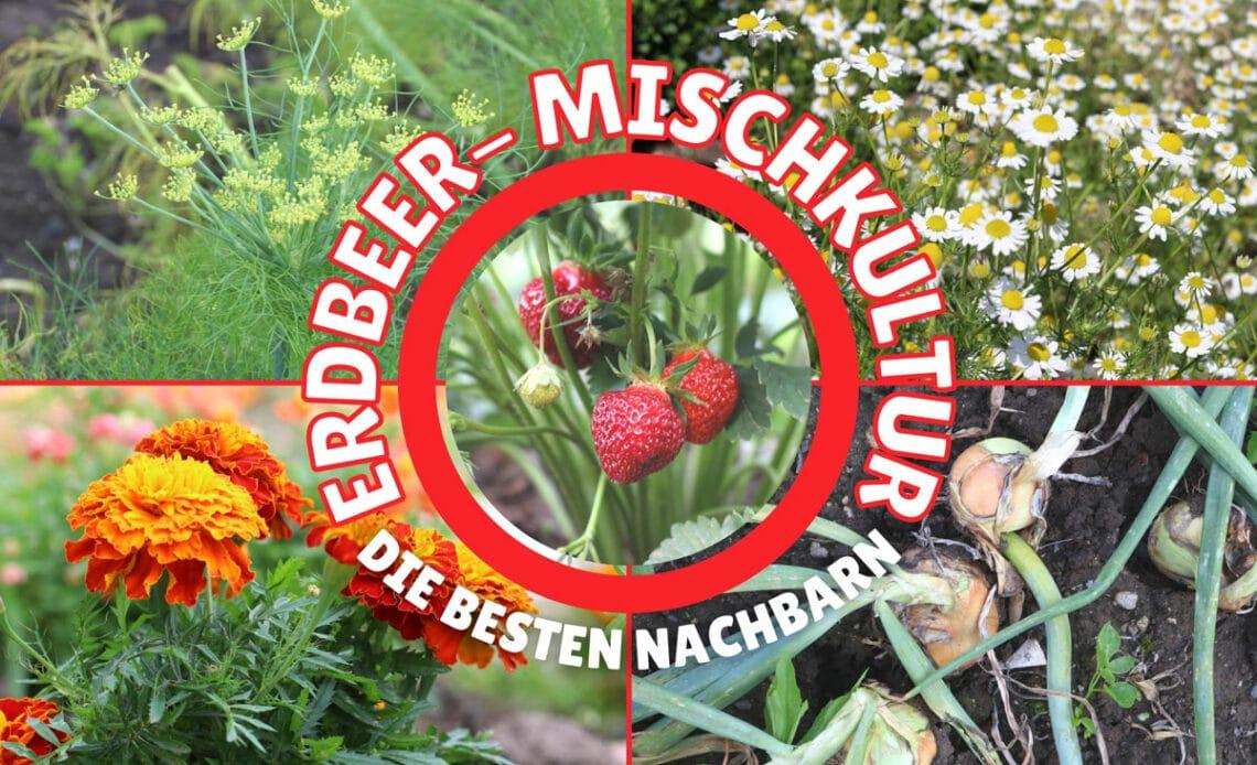 Erdbeer-Mischkultur