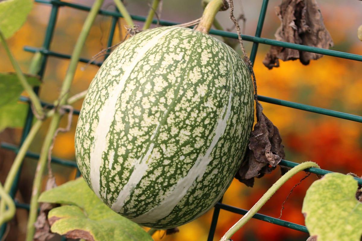 Feigenblattkürbis (Cucurbita ficifolia)