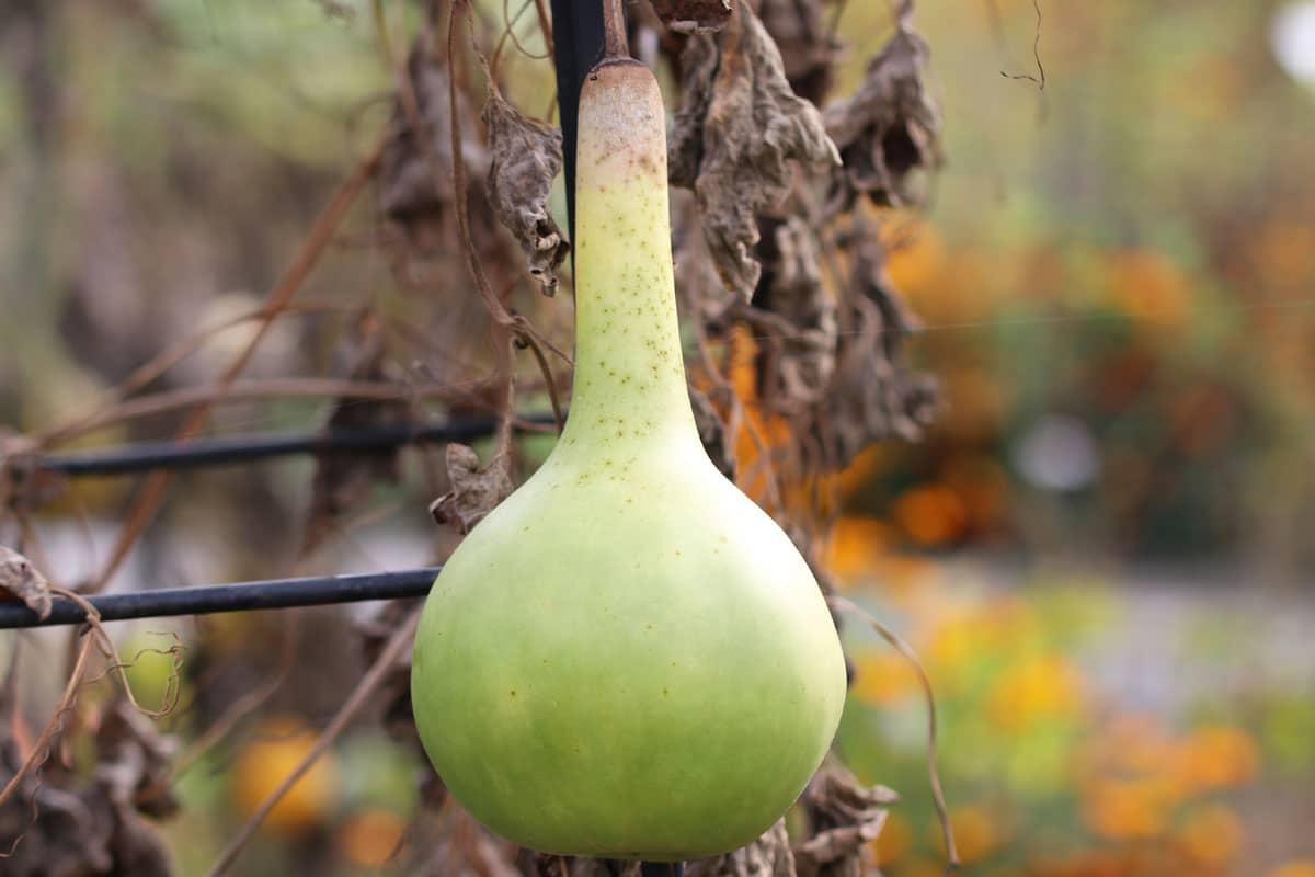 Flaschenkürbis (Lagenaria siceraria)