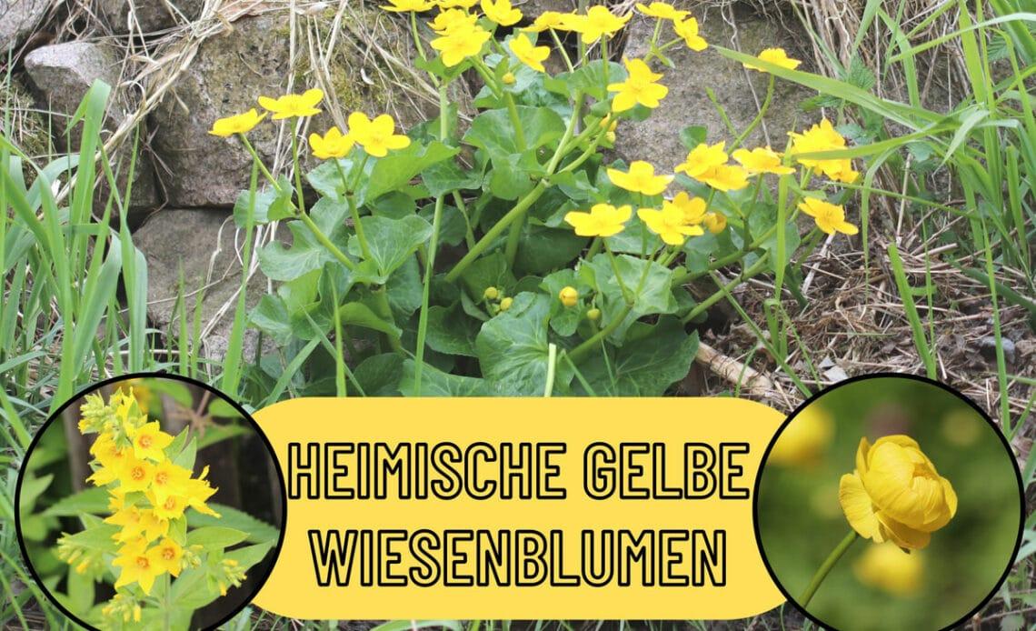 Heimische gelbe Wiesenblumen