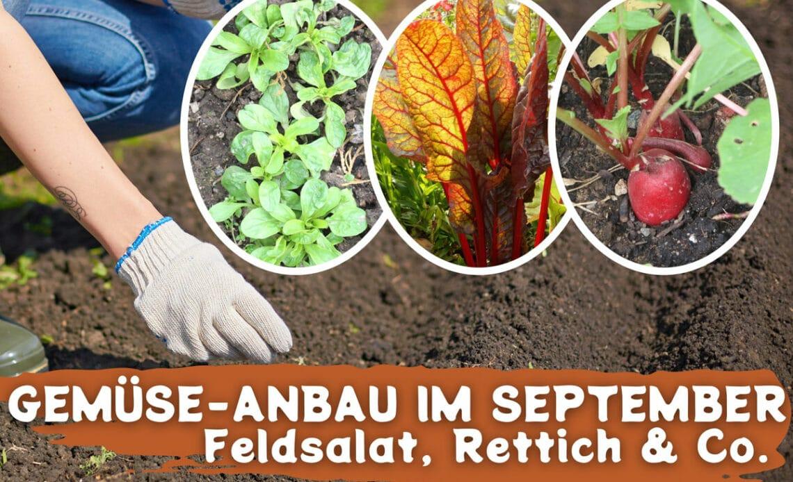 Gemüse-Anbau im September - Feldsalat, Mangold und Radieschen werden ins Beet gesät
