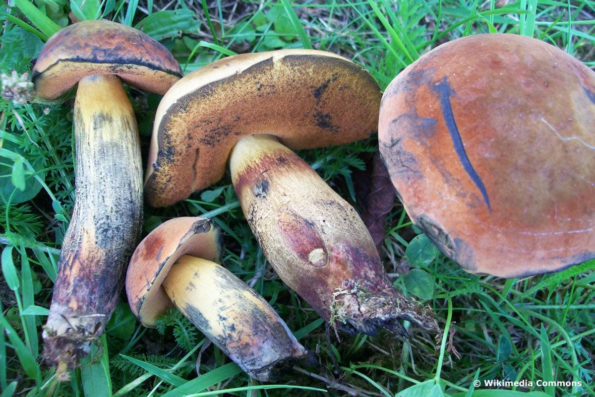 Glattstieliger Hexenröhrling (Suillelus queletii)
