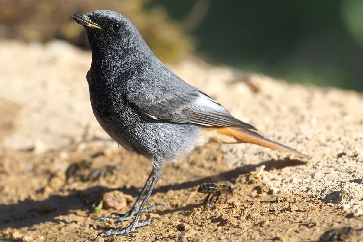 Vögel, die nachts singen - Hausrotschwanz (Phoenicurus ochruros)